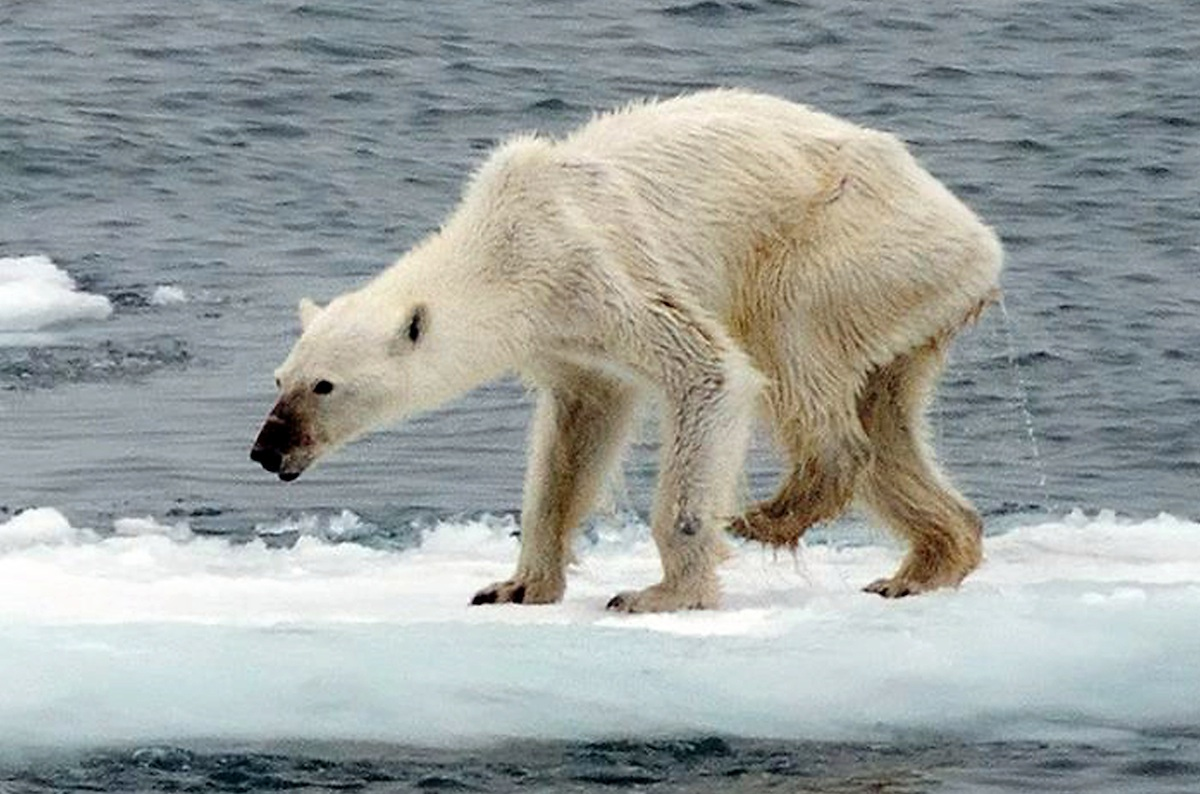 Seriously starving? Polar bear so skinny some say photo is fake, but real myth may be such sightings are rising