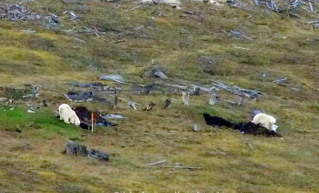 Polar bears return to Hiorthhamn; governor uses helicopter and boat to scare them away