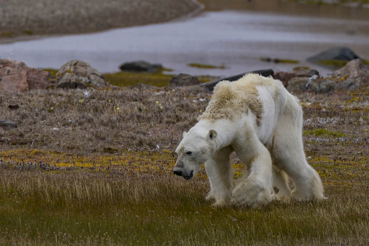 SPECIAL REPORT: Polarizing polar bears – unmasking a proxy war strategy by online climate change denialists