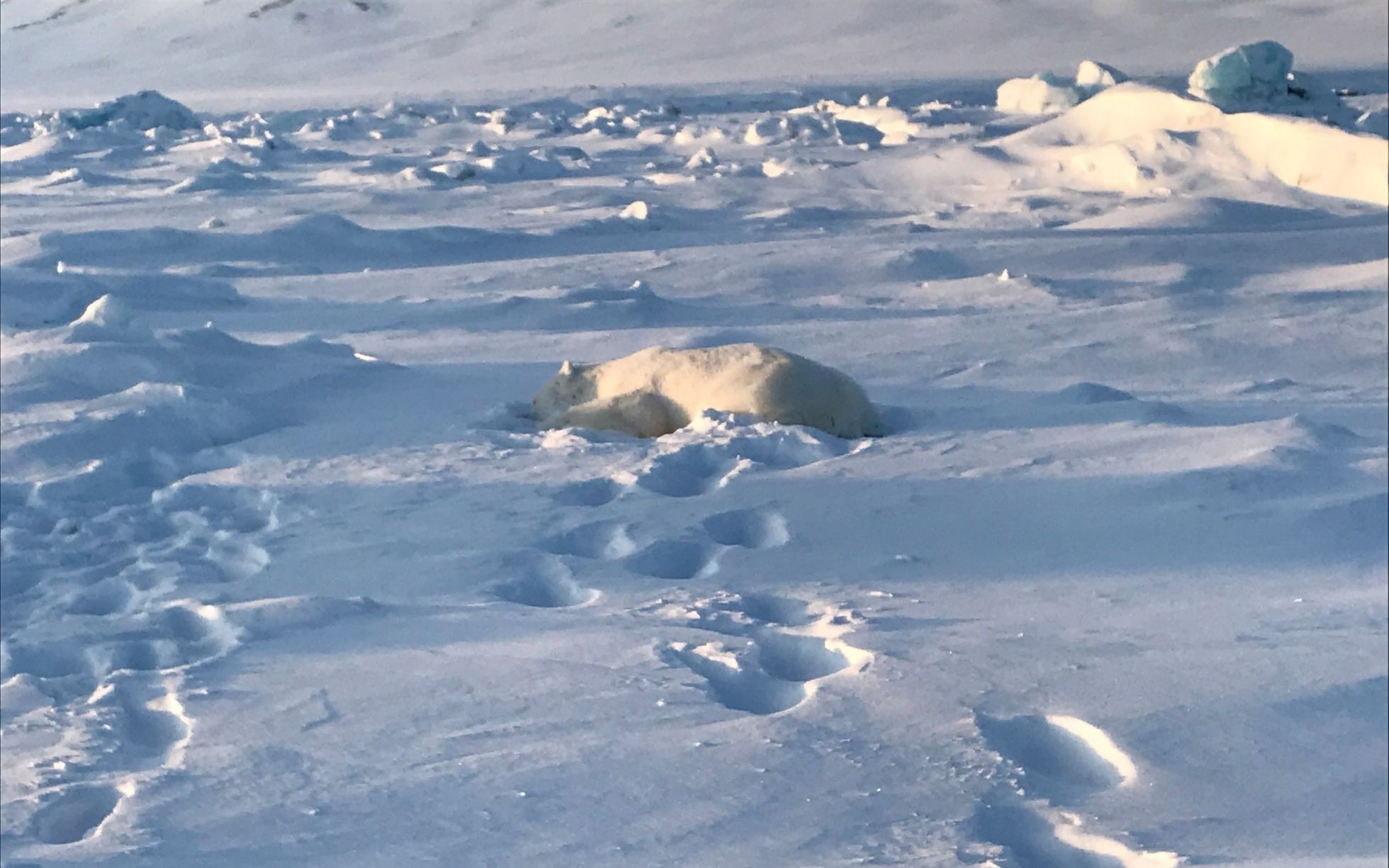 THIN HUNTING: Polar bear that attacked man this week weighed one-third less than normal for its age, expert says