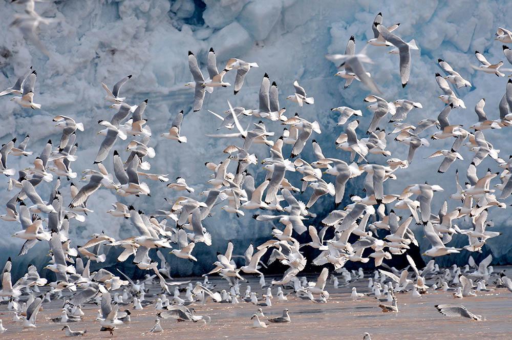 svalbardseabirds
