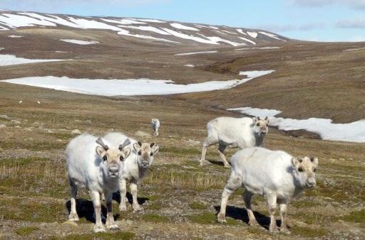 reindeercount