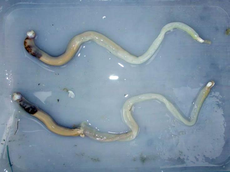 shipworms