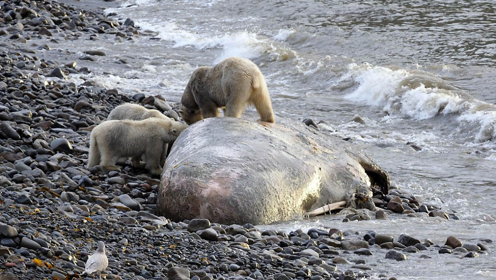 bearswhale