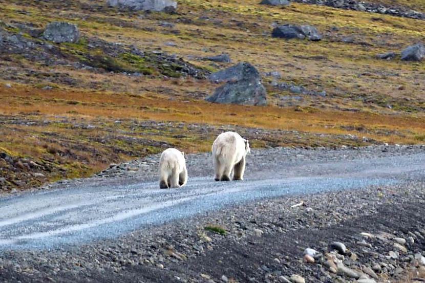 polarbearsback